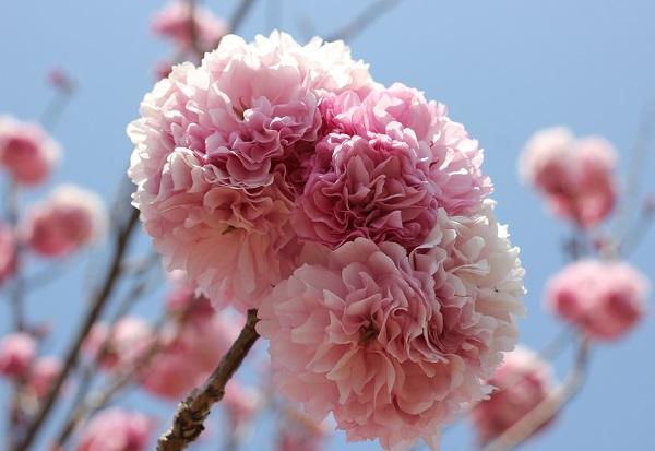 美しく咲いたカンザンの花の写真