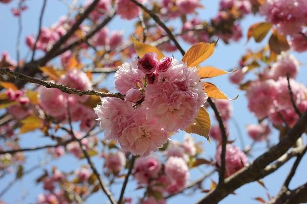 カンザンの花がたくさん咲いてる様子の写真