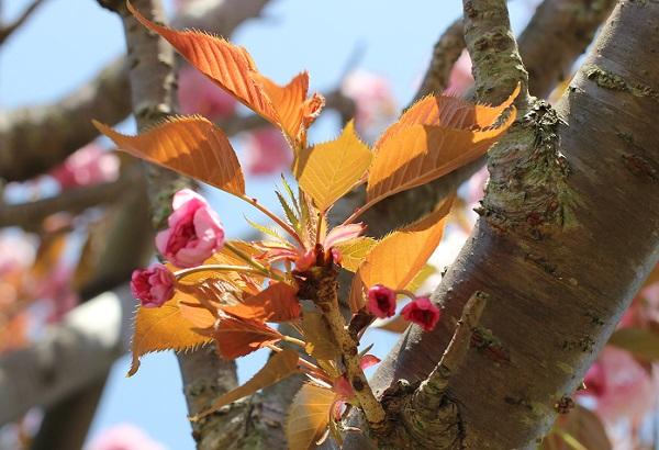 カンザンの蕾と葉の写真