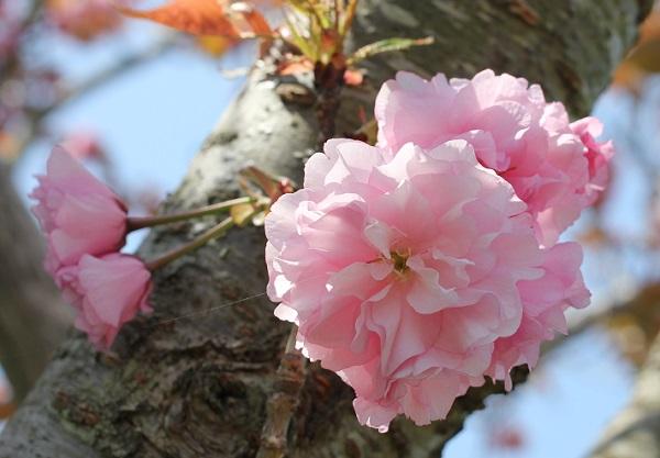 幹から飛び出して咲いてるカンザンの美しい花の写真