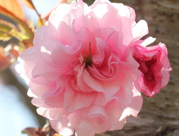 カンザンの花のアップ写真