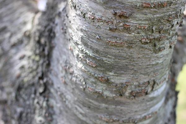 カンザンの幹の写真