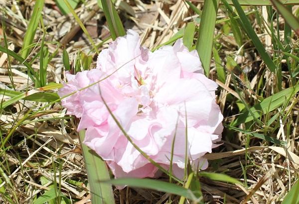 地面に落ちたカンザンの花の写真