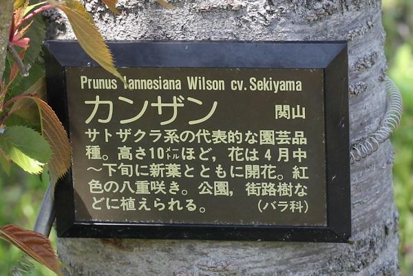 カンザンの木、幹にかけられてるカンザンの説明看板写真