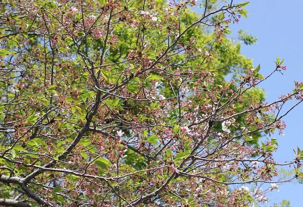 大村公園のソメイヨシノ、花が終わり葉桜へ
