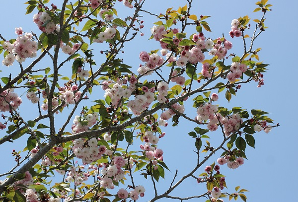 枝いっぱいに咲いてるオオムラザクラの写真