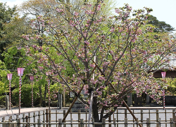 大村神社に植えられてるオオムラザクラの様子の写真