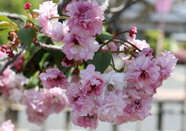 枝にたわわに咲くオオムラザクラの様子の写真