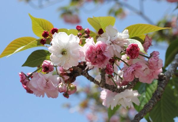 オオムラザクラの花の写真