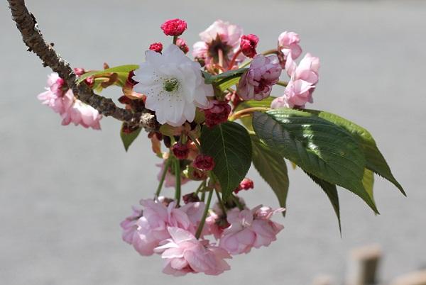 オオムラザクラの花、白い花、ピンクの花、赤い蕾、葉の写真
