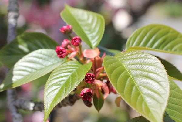 オオムラザクラの葉と赤い蕾のアップ写真