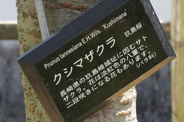 クシマザクラの看板(解説あり)の写真