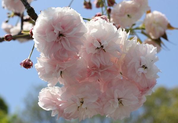 クシマザクラ、花のアップ写真