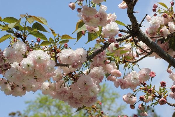 枝いっぱいにクシマザクラが咲いてる様子の写真