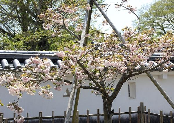 大村公園に咲いていたクシマザクラの写真(全体像)