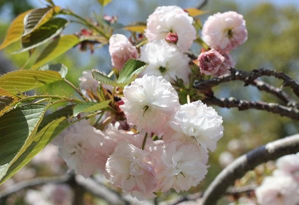 クシマザクラの花のアップ写真