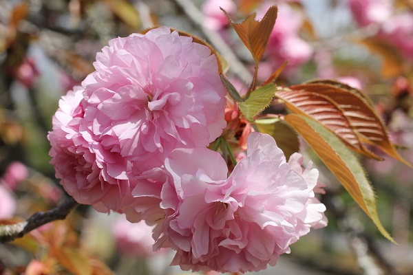 カンザン(関山)の花の写真