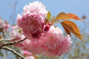 美しいカンザン桜の花の写真