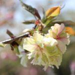 ギョイコウザクラ(御衣黄桜)の写真