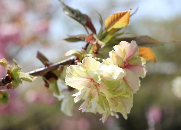 ギョイコウ(御衣黄)の花の写真