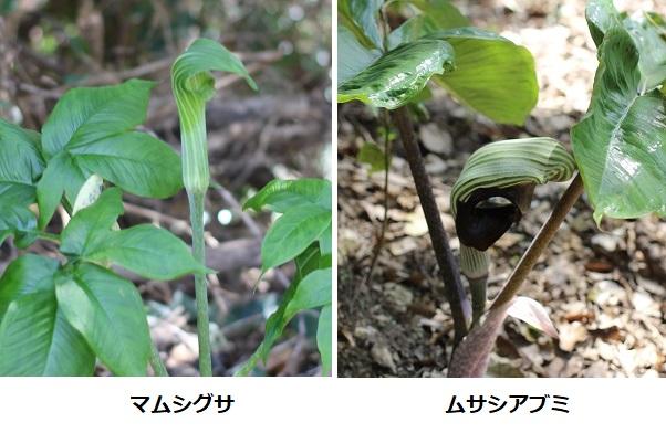 山で咲いていたマムシグとムサシアブミの比較写真
