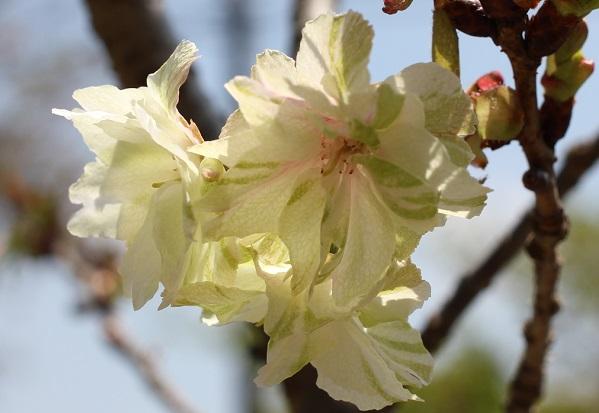 開花したギョイコウザクラ(御衣黄桜)の写真