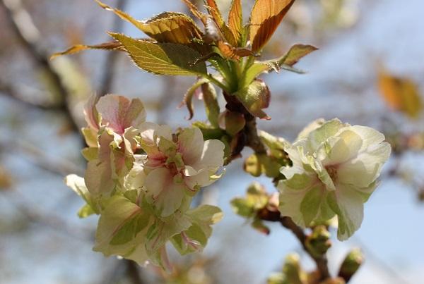 咲いたギョイコウザクラ(御衣黄桜)の様子の写真