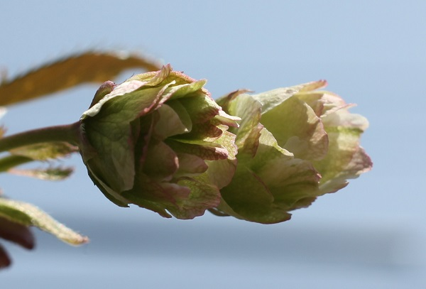 ギョイコウザクラ(御衣黄桜)もうすぐ咲きそうな蕾の写真