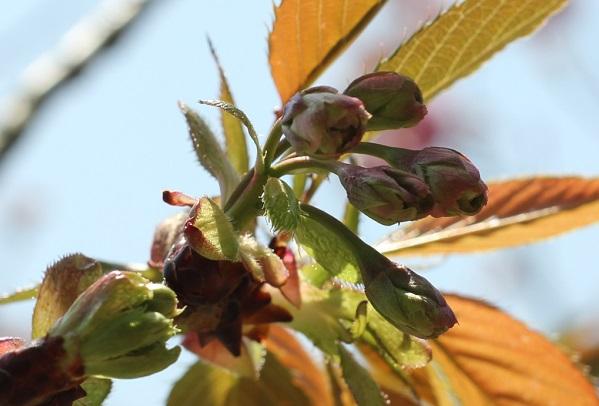 ギョイコウザクラ(御衣黄桜)の赤く色づいた蕾の写真