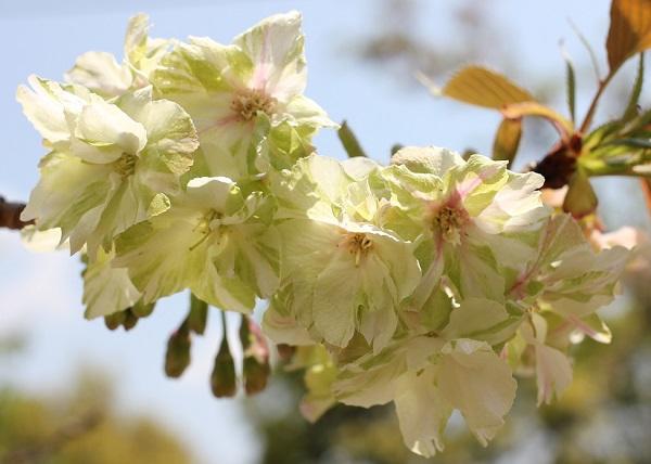 美しく咲くギョイコウザクラ(御衣黄桜)の写真