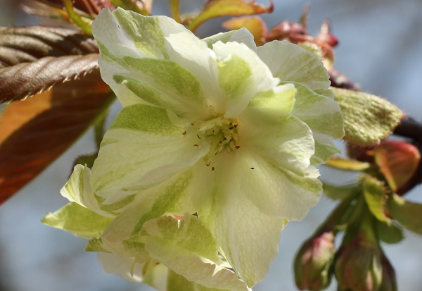 ギョイコウザクラ(御衣黄桜)の花のアップ写真