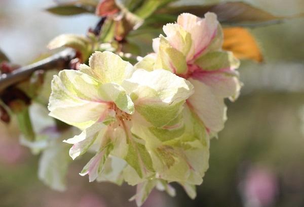 ピンクのストライプが入った花色が美しいギョイコウザクラ(御衣黄桜)の写真