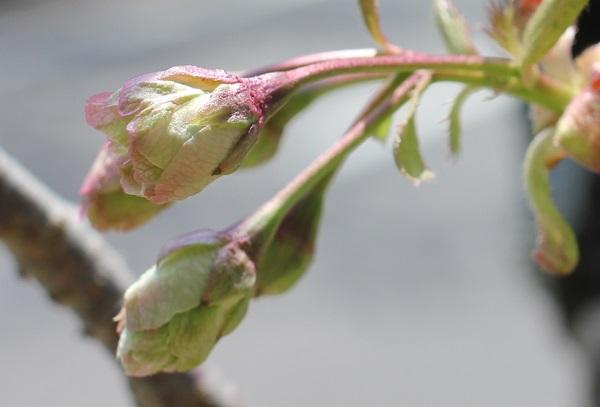 ギョイコウザクラ(御衣黄桜)少し膨らんだ蕾の様子の写真