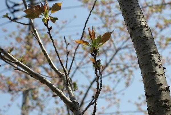 ギョイコウザクラ(御衣黄桜)の幹、新芽の様子の写真