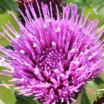 白い花粉がついてるアザミの花の写真