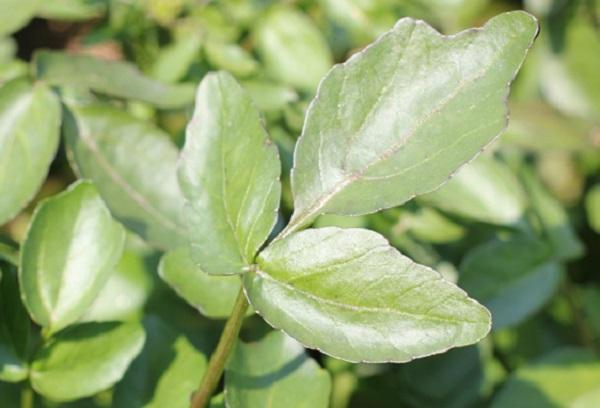 クレソンの葉のアップ写真