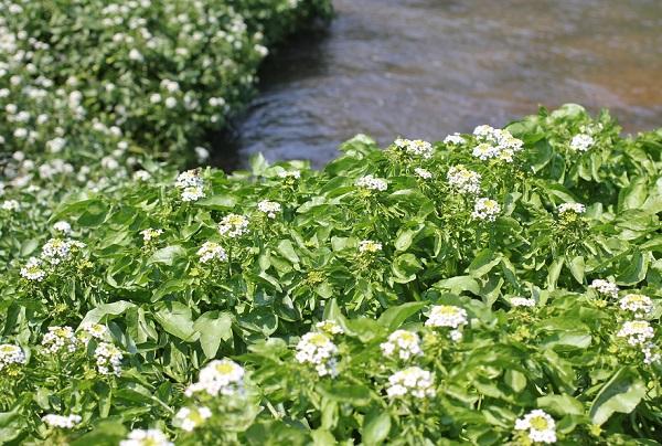 水辺に咲く美しいクレソンの白い花