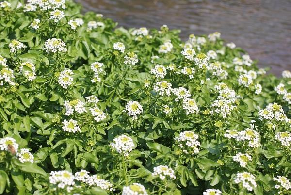 水辺に綺麗なクレソンの花が咲いている様子の写真