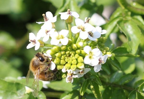 クレソンの花の蜜を集めるミツバチの写真