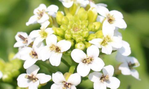 クレソンの花のアップ写真