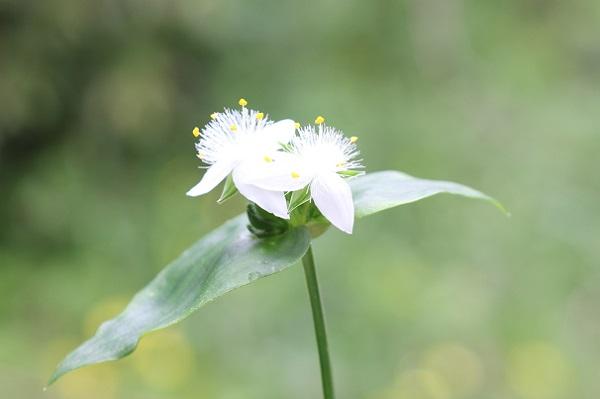 トキワツユクサ(常磐露草)の花の写真