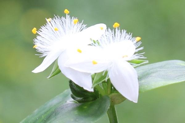トキワツユクサ(常磐露草)の花のアップ、雄しべや雌しべの様子の写真
