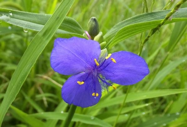 ムラサキツユクサの花の写真