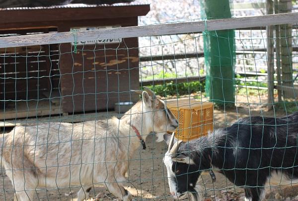 崎野自然公園、二匹のシバヤギの写真