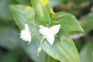 白いツユクサの花の写真