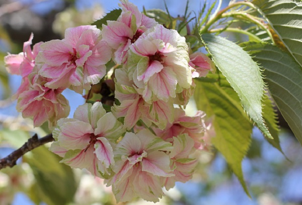 咲き進むにつれて赤く色づくギョイコウザクラの花の写真