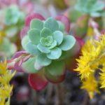 ウスゲショウ(薄化粧)の花が咲いた様子の写真