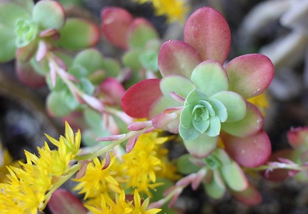 ウスゲショウ、色づいた葉と黄色の花の写真