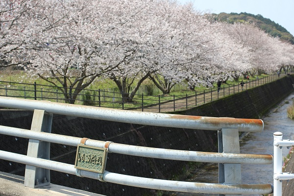 高田駅付近線路脇の桜並木の写真(しもこうだばしと桜並木のようす)
