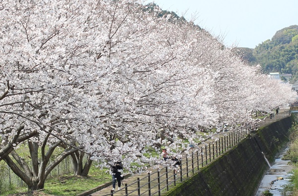 高田駅付近線路脇の桜並木の写真(満開の桜並木と川)
